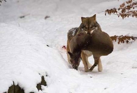 عکسهای جالب,عکسهای جذاب,شکار یک گرگ