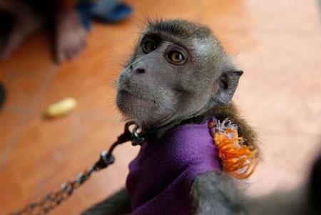 عکسهای جالب,عکسهای جذاب,میمون دستآموز