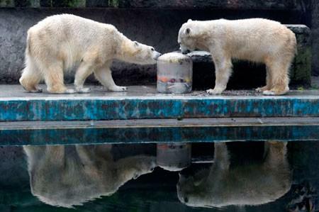 عکسهای جالب,عکسهای جذاب,خرس قطبیدو خرس قطبی در حال خوردن گوشت یخی نهنگ در باغ وحش بوداپست مجارستان
