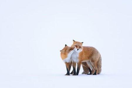 عکسهای جالب,عکسهای جذاب, روباه قرمز