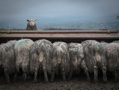 عکسهای جالب,عکسهای جذاب, پرورش گوسفند