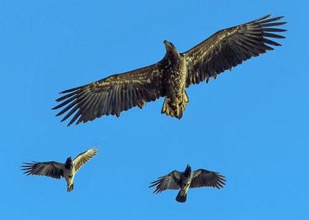 عکسهای جالب,عکسهای جذاب,عقاب دریایی