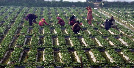عکسهای جالب,عکسهای جذاب,مزرعه توت فرنگی