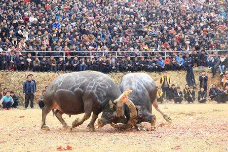 عکسهای جالب,عکسهای جذاب,نبرد گاوها