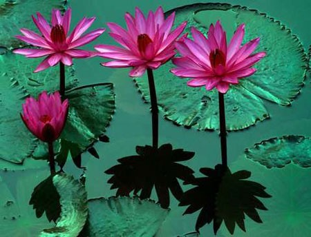 عکسهاي جالب,عکسهاي جذاب,گل نيلوفر آبي
