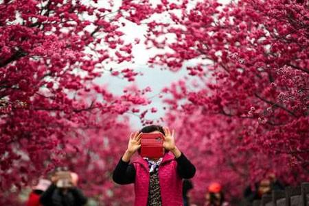 عکسهای جالب,عکسهای جذاب,شکوفههای درخت گیلاس