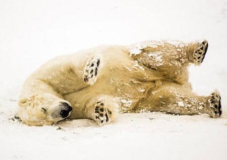 عکسهاي جالب,عکسهاي جذاب,خرس قطبي