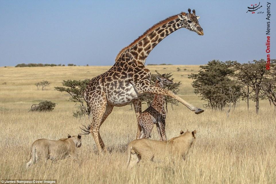 اخبار,اخبار گوناگون,حمله گله شیر گرسنه به بچه زرافه