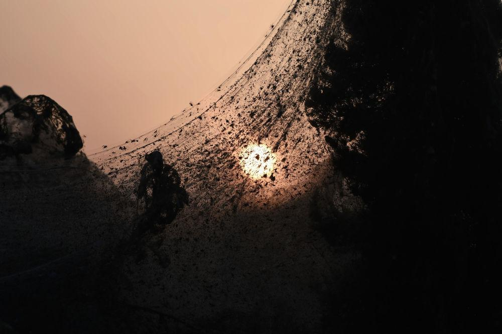 اخبار,اخبار گوناگون,جنگل عنکبوتی در یونان