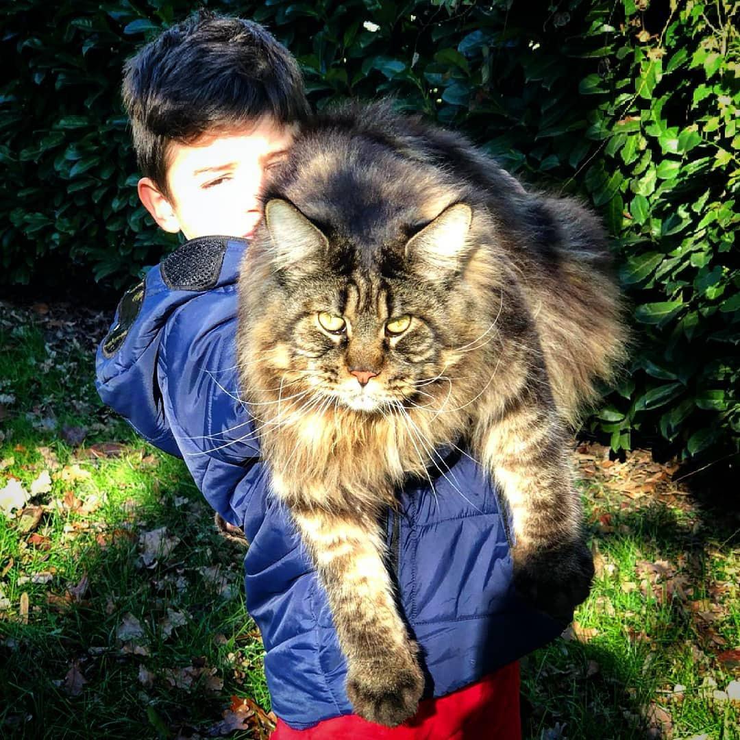 اخبار,اخبار گوناگون,بزرگترین گربه جهان