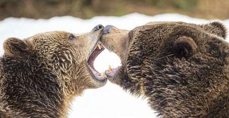 عکسهای جالب,عکسهای جذاب,خرس قهوه ای