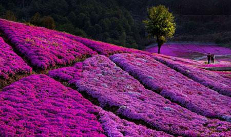 عکسهای جالب,عکسهای جذاب, دشتی از گلها