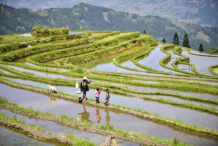 عکسهای جالب,عکسهای جذاب, شالیزارهای برنج