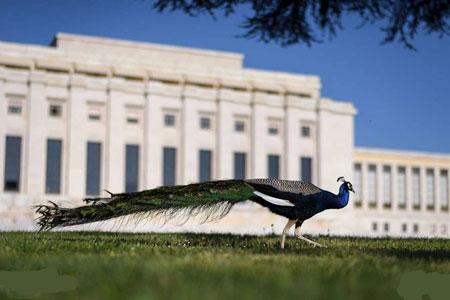 عکسهای جالب,عکسهای جذاب, طاووس