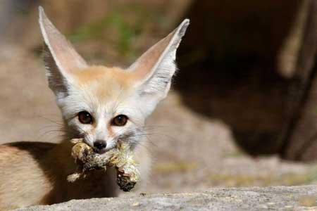 عکسهای جالب,عکسهای جذاب,روباه