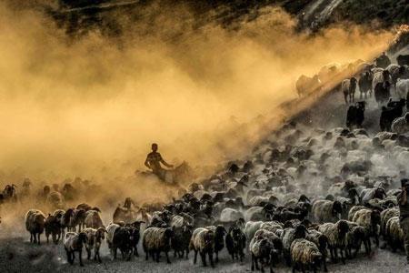 عکسهاي جالب,عکسهاي جذاب, گوسفندان