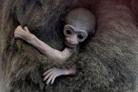 عکسهای جالب,عکسهای جذاب, میمون گیبون