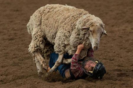 عکسهای جالب,عکسهای جذاب , گوسفند