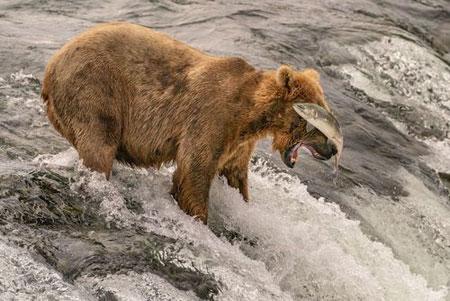 عکسهای جالب,عکسهای جذاب,خرس قهوهای