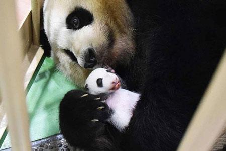 عکسهای جالب,عکسهای جذاب,خرس پاندا
