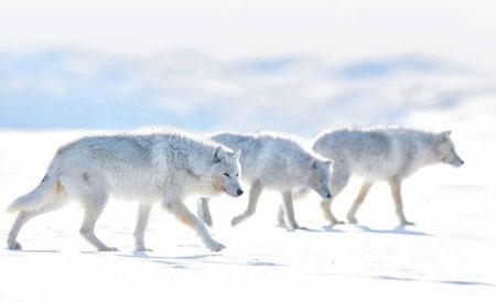 عکسهای جالب,عکسهای جذاب,گرگهای سفید