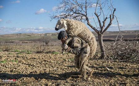 عکسهای جالب,عکسهای جذاب,نجات گوسفند
