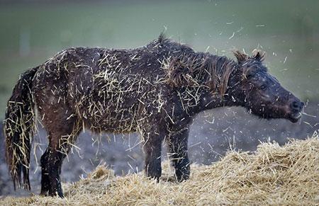 عکسهای جالب,عکسهای جذاب,اسب ایسلندی