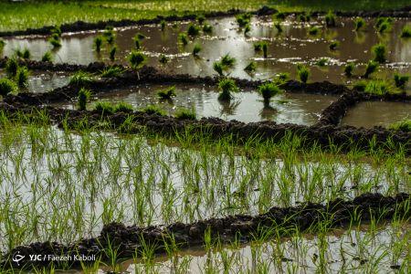 اخبار,انعکاس,نشاء برنج در گرگان