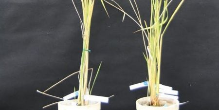 اخبار علمی ,خبرهای علمی, گیاهان نابارور