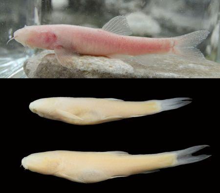 اخبار,اخبارعلمی وآموزشی,کشف یکی از بزرگترین زیستگاههای زیرزمینی ماهیان کور جهان