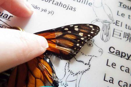 اخبار,اخبار گوناگون,ترمیم بال پروانهها