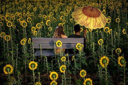 عکسهای جالب,عکسهای جذاب,مزرعه آفتابگردان