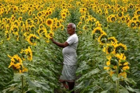 عکسهای جالب,عکسهای جذاب,گل آفتابگردان