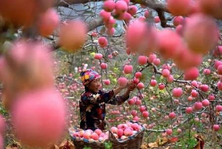 عکسهای جالب,عکسهای جذاب,سیب