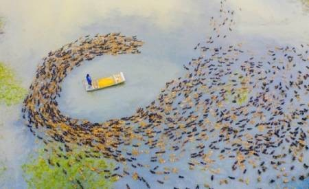 عکسهای جالب,عکسهای جذاب,پرورش اردک