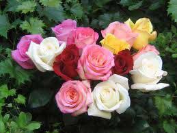نشانههایی برای عشق ومحبت , نشانه رنگ گل های رز,