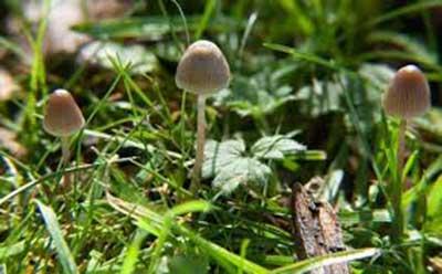 درمان افسردگی با قارچهای جادویی