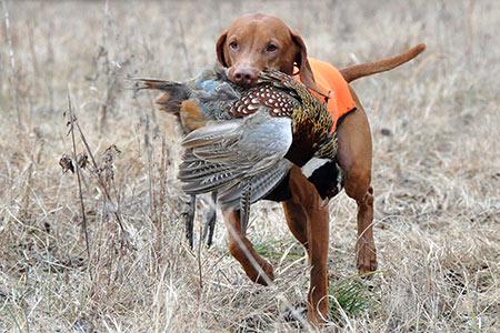 احکام شکار با سگ شکاري,احکام شکار توسط سگ,حکم شکار با سگ شکاري