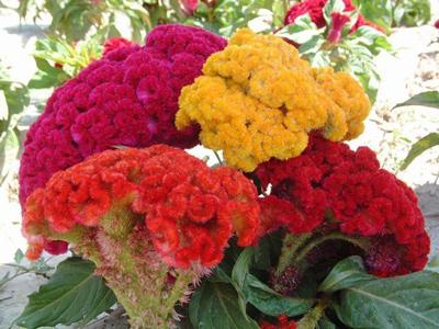 نگهداری از گل تاج خروس, پرورش و نگهداری گل تاج خروس