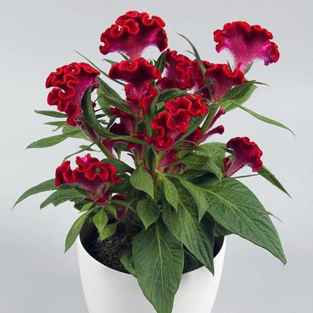 گل تاج خروس,نکاتی برای نگهداری از گل تاج خروس