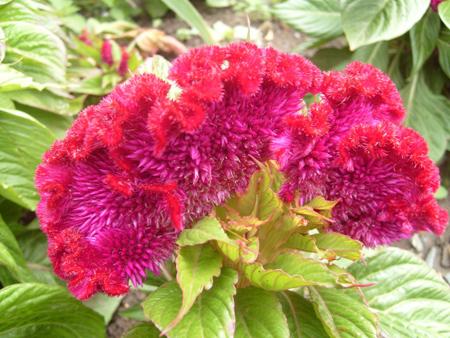 روش های نگهداری از گل تاج خروس, بهترین مکان برای نگهداری از گل تاج خروس
