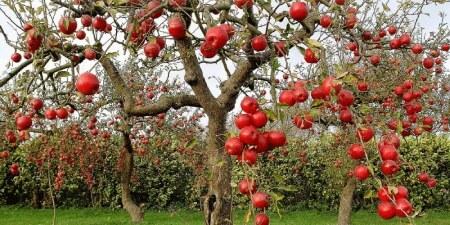 کاشت درخت سیب,کاشت و نگهداری درخت سیب,درخت و میوه سیب