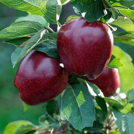 پرورش درخت سیب,آبیاری درخت سیب,تصویر درخت سیب