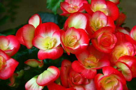 بگونیا هیمالیس,گل بگونیا هیمالیس