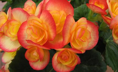 نور مناسب بگونیا هیمالیس, شیوه نگهداری از گل بگونیا هیمالیس