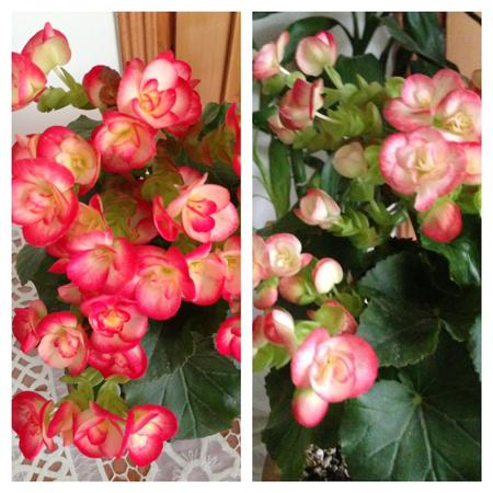 نکاتی برای نگهداری از گل بگونیا هیمالیس, روش نگهداری از گل بگونیا هیمالیس