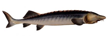 توصیه هایی برای پرورش و نگهداری از ماهی خاویار,راهنمای پرورش ماهی قره برون