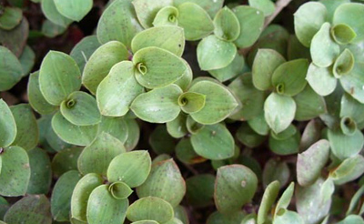 کاشت و پرورش گل کالیسیا, راهنمای نگهداری از کالیسیا