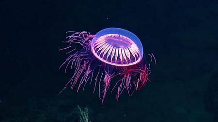 نحوه نورافشانی عروس دریایی, تصاویری از نورافشانی عروس دریایی کمیاب