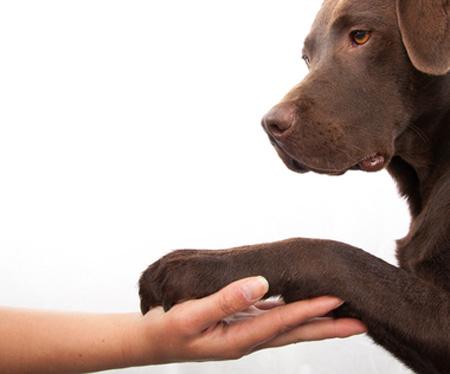 آموزش و تربیت سگ های خانگی مثل پامرانین هاسکی ژرمن شپرد